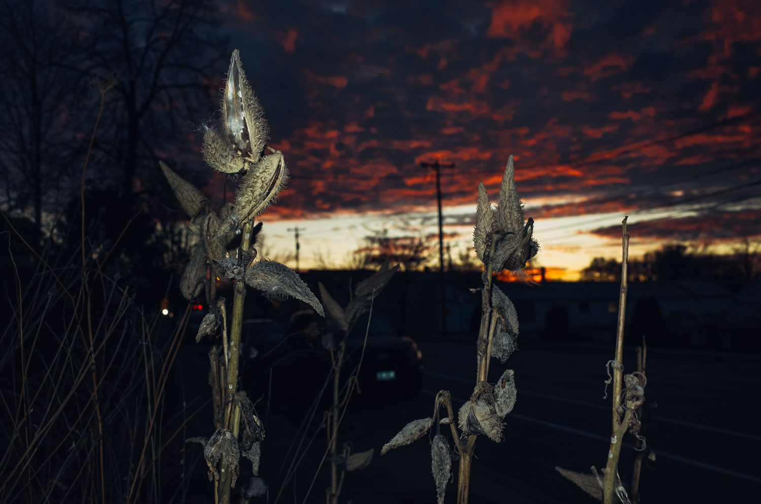 milkweed in foreground with sunset in background on Winnebago street in Madison Wisconsin